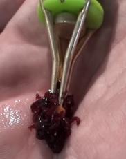 Mückenzange SET mit Silikon-Gummi